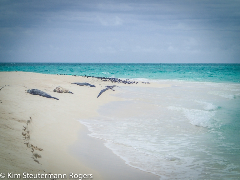 Sleeping Monk Seals at Neva Shoals