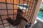 Hawaiian Monk Seal `Ena`ena Gets A Look at Big Island.