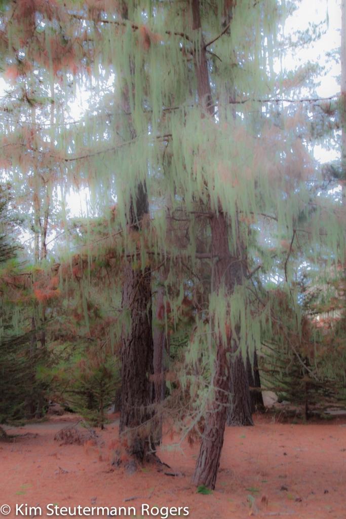 Pine Tree at Marconi Center at Tomales Bay