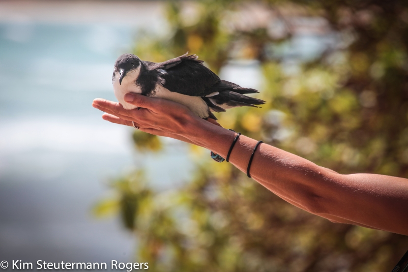 Flight Risk: Saving Kauai's Endangered Newell's Shearwater