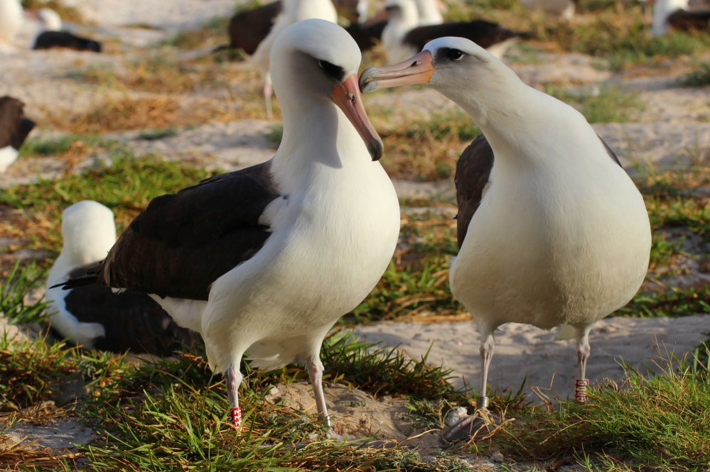 Wisdom, the laysan albatross, oldest wild bird in world
