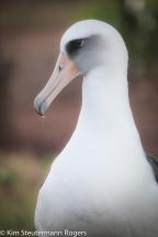 Laysan albatross KP787
