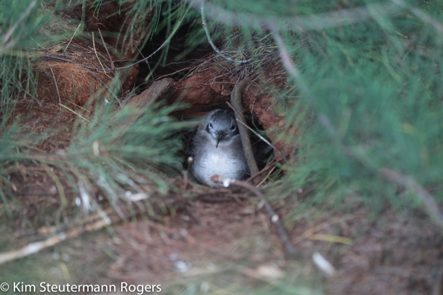 wedge-tailed shearwater on kauai