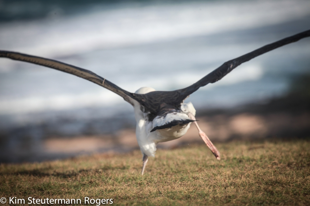 Laysan Albatross Take Off-5