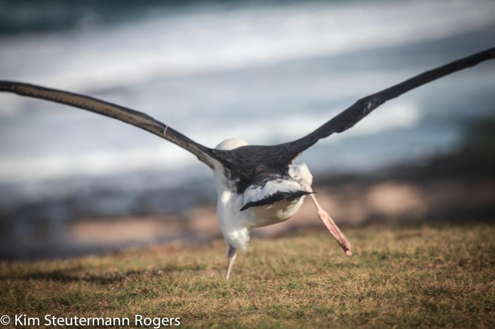 Laysan Albatross Take Off-5