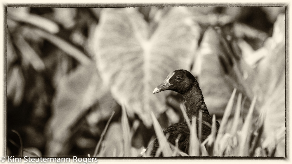Moorhen Silver Efex Yellowed 2 16x9