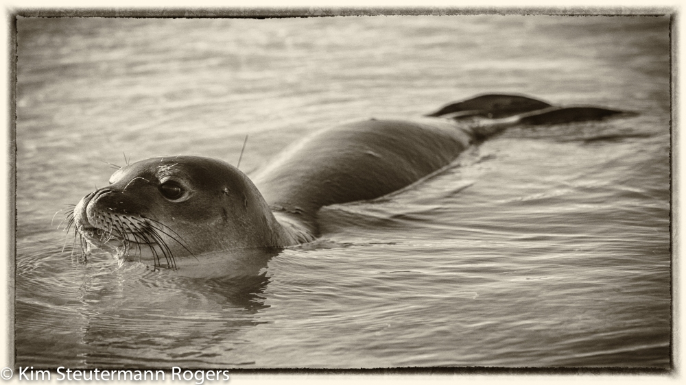 Swimming seal silver efex yellowed 2 16x9