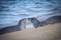 juvenile-monk-seal-and-weaner-greet-each-other-on-a-kauai-beach-in-the-summer-of-2014