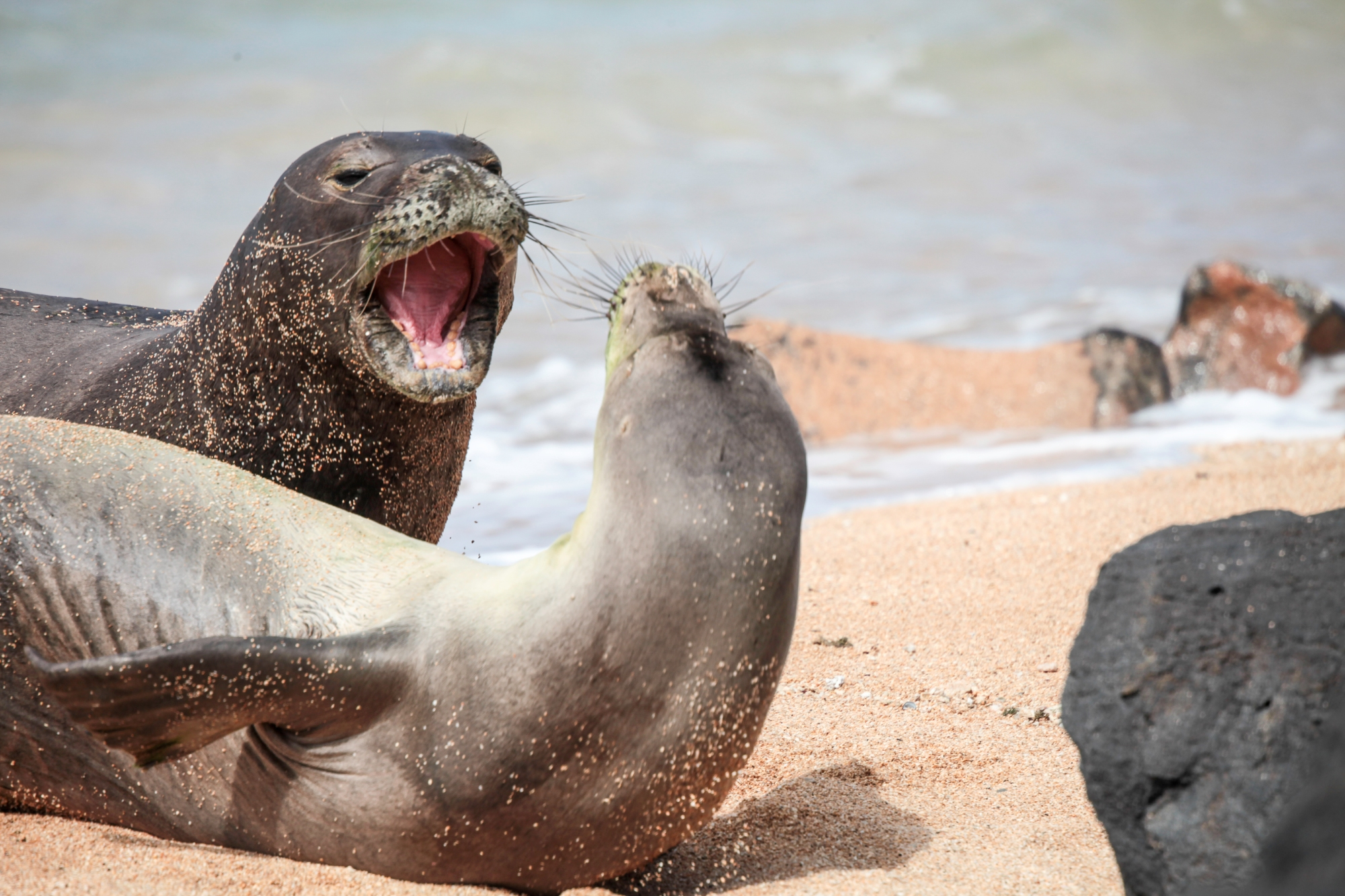 two-male-monk-seals-display-on-a-north-shore-beach-summer-2015