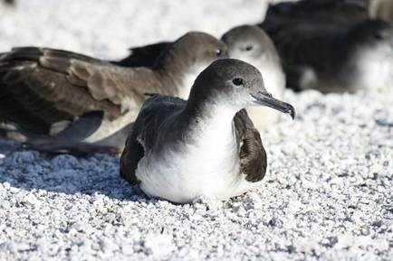 Wedge-tailed shearwaters 'ua'u kani