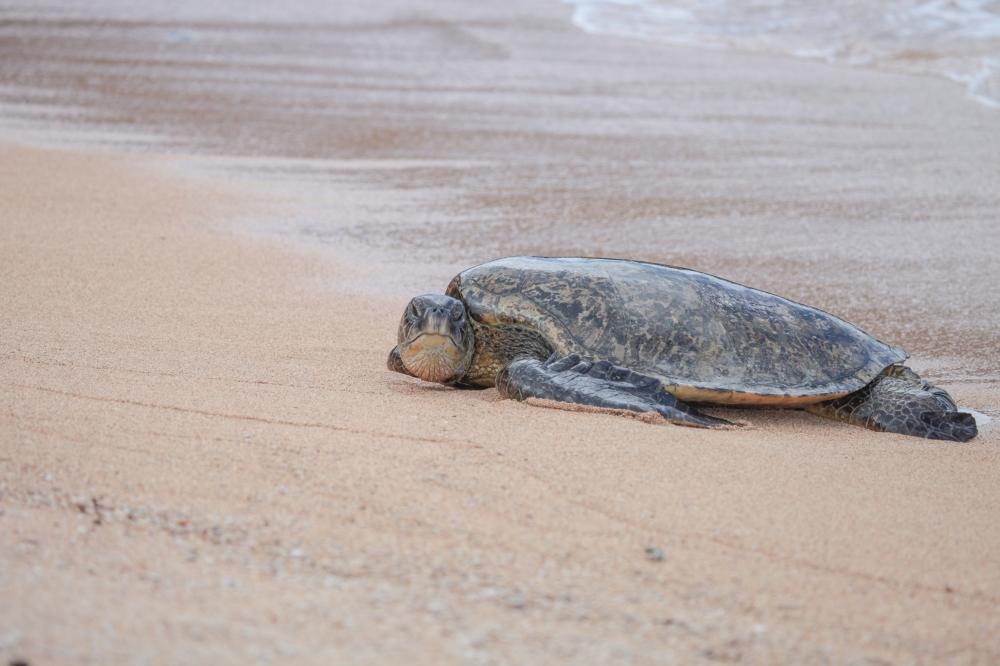 20200331 Waipake Turtle KSR-2