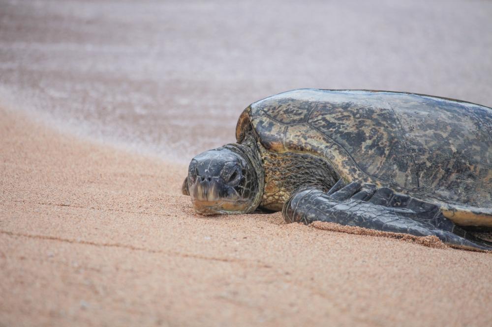 20200331 Waipake Turtle KSR