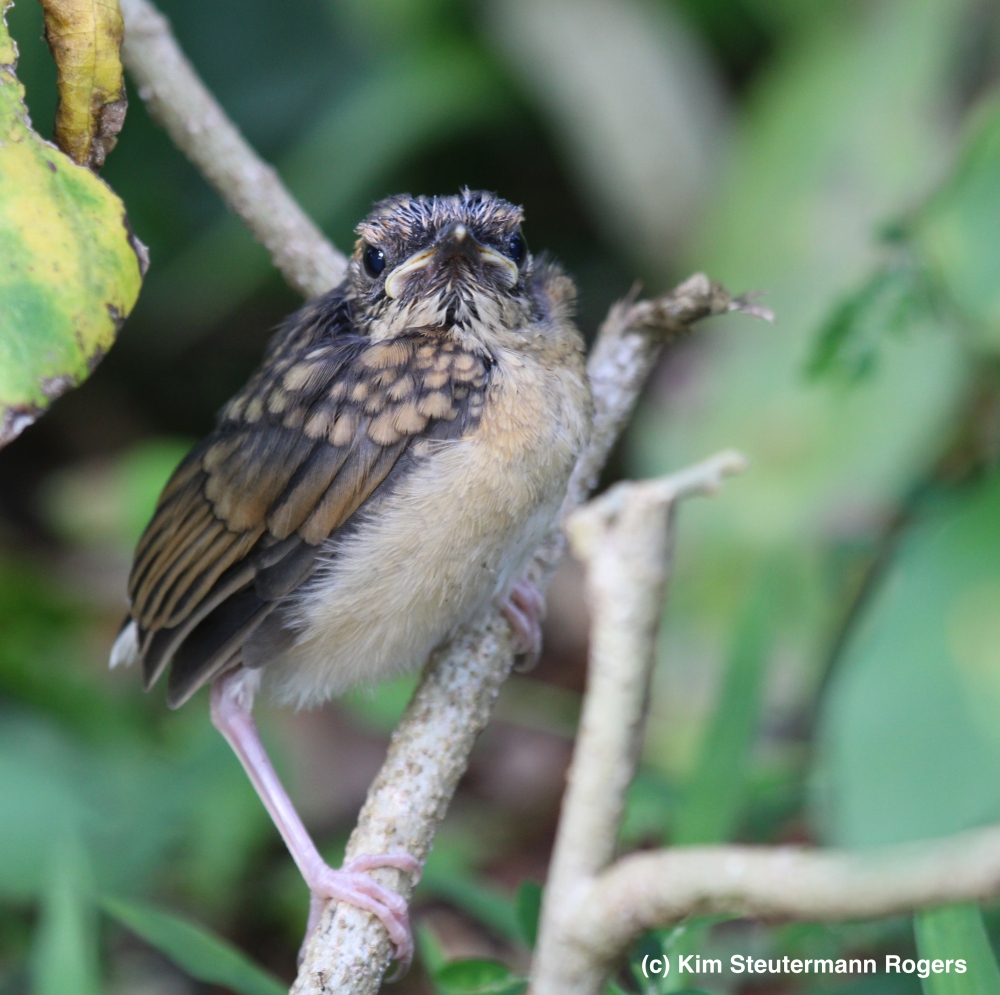 fledgling 1