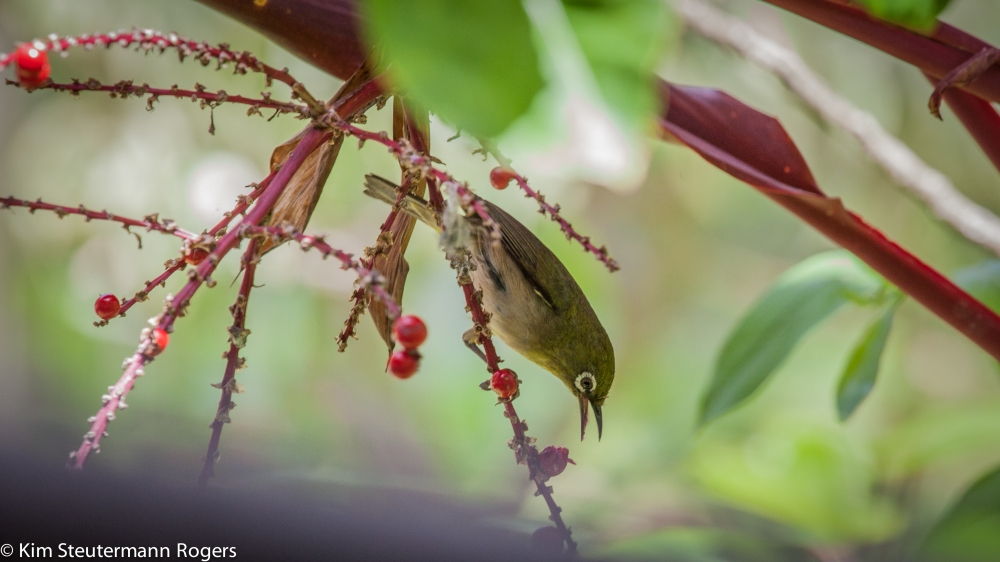 Japanese white eye with ti fruit